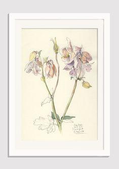 Akelei Blüte Zeichnung #1 - ORIGINAL Aquilegia, Bleistift und Aquarell Zeichnung…