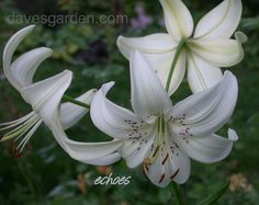 Asiatic Lily, Tiger Lily 'White Tiger'