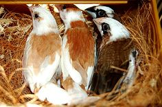4 Society finches sitting on a nest by jungle mama, via Flickr