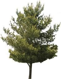 png trees white background - Google Search