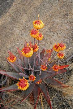 Aloe capitata Anviranomamo - probably needs to be indoors in winter