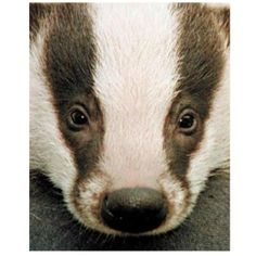 "The message that Badger symbolism brings today, is to be persistent with all that you desire in life. He/She says, be fearless in ""knowing"" that you WILL obtain ALL that you need and want..."