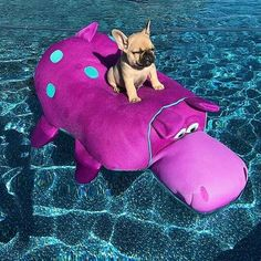 Just chillin in my pool! This is what I call French Bulldog Puppy paradise! ☀️