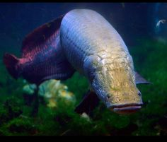 Arapaima-aka pirarucu, or paiche is a South American tropical freshwater fish.