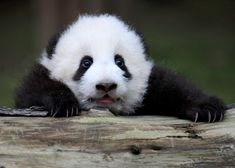 A giant panda cub holds on to a log at the Chengdu Research Base of Giant Panda Breeding in China.