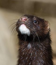 An American Mink in the UK. These guys escaped from the Fur Farms in the 1920s and have been living free in the UK ever since - cute but deadly predators :0)
