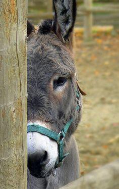 •♥•✿ڿڰۣ(̆̃̃•Aussiegirl #Creation Some people just see a beast of burden, I see a beautiful animal, whenever I see a Donkey