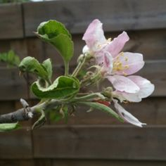 Love my small apple tree