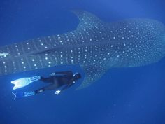 Scuba dive with whale sharks in Utila, Honduras