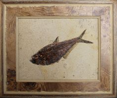 This Diplomystus dentatus is beautifully preserved and professionally prepared and framed. The framing is of an upscale quality with the touchstone customer in mind.