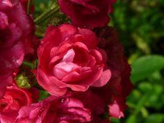 Rosa Excelsa (stamroos, treurvrom) - stam 140 cm hoog   Rosa Excelsa, een doorbloeiende stamroos met kleine rode bloemen. Rosa Excelsa bloeit van juni tot in oktober. Rosa Excelsa staat graag in de zon, maar mag ook een beetje in de schaduw staan (halfschaduw).