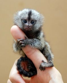 The pygmy marmoset is a tiny primate that is native to rainforests of the western Amazon Basin in South America. pygmy-marmoset-4