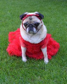 Bailey our Pug Princess #pugcostume #pugcostumes #pugprincess