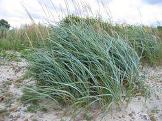 Leymus arenarius - duin/helmgras - blue dune grass