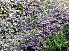 Rosemary, Lavender and Purple Sage (image copyright Garden Mentors inc via gardenhelp.org)