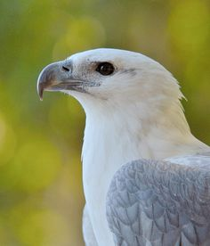 Sea Eagle  by bareego, via Flickr