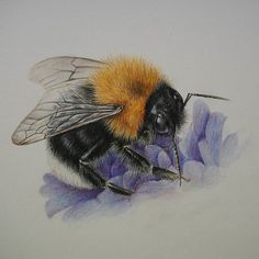 Finished Tree Bumblebee drawing. We are quite often asked to identify these as though they arrived in the UK in 2001 a lot of people don't know what they are when they see a cloud of Tree Bumblebees in and around their bird boxes or shed roof! #bumblebee #pollinators #insects #bombushypnorum #treebumblebee #busybee #insectsofinstagram #gardenwildlife #insectillustration #gardenfriends #saveourbees #bumblebeeconservation #flowersforbees #gardenforwildlife #coloredpencilsdrawings…