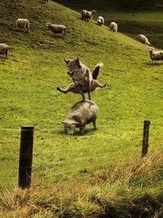 Quick Game of Leap Sheep! Animals And Pets, Funny Animals, Cute Animals, Funny Animal Pictures, Funny Photos, Foto Fantasy, Secret Life Of Pets, Jolie Photo, Funny Cute
