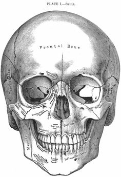 skull - skull You are in the right place about skull Tattoo Design And Style Galleries On The Net – Are Th - Anatomy Art, Human Anatomy, Greys Anatomy, Vintage Halloween, Fall Halloween, Memento Mori, Skull And Bones, Skull Art, Macabre