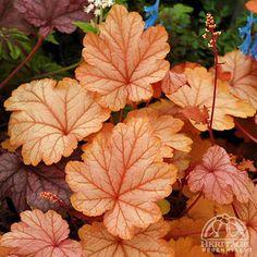 Heuchera 'Vienna' - Heuchera 'Vienna' is a bastion of artful traits; Coral Bells Plant, Coral Bells Heuchera, Shade Garden Plants, Garden Shrubs, Garden Nursery, Foliage Plants, Garden Gifts, Outdoor Plants, Container Gardening