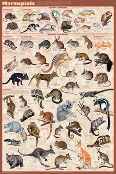 Сумчатые (животные с сумками, все семьи).