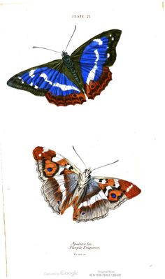 The purple emperor butterfly. The Natural History of British Butterflies,  by James Duncan.
