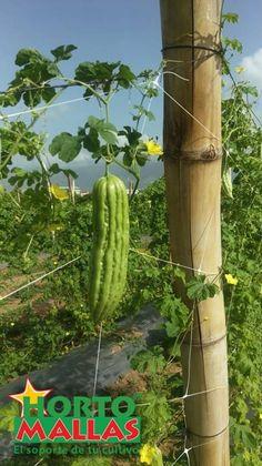 momordica (bitter melon or cundeamor) fruit hanging off HORTOMALLAS trellis net for vegetable support. Bitter Melon, Gourds, Trellis, Cactus Plants, Asparagus, Vegetables, Fruit, Farmer, Horticulture