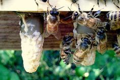 I've always wanted to have Bees - may be time to live my dream. Beginner to Beginner Queen Rearing.kb come back read and watch videos Honey Bee Hives, Honey Bees, Raising Bees, I Love Bees, Bee Friendly, Save The Bees, Bee Happy, Busy Bee, Bees Knees