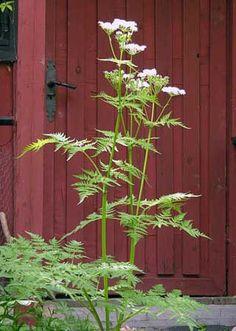 Saksankirveli, Myrrhis odorata - Kukkakasvit - LuontoPortti. Esikasvatus. Ensimmäinen siemenerä ei itänyt.