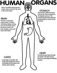 Human Organs Coloring Page