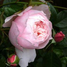 My rose garden - Generous Gardener - David Austin Rose Old English Roses, Ronsard Rose, Rose Queen, David Austin Roses, Bloom, Orange Yellow, Envy, Plants, Gardening