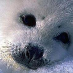 aww, baby seal