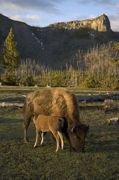 Bison and calf in Yellowstone National Park.