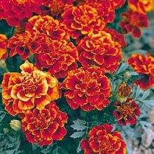 """Marigold Queen Sophia – NEW! A lovely French marigold with russet-red flowers trimmed in a gold that grows so easily in the garden giving a constant flourish of color. The plant is only a foot tall but the flower heads are big and showy at 3"""" wide. You can find a place for them anywhere in the flower garden or their size makes them ideal for pots as well."""