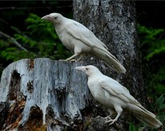 Photo of the rare white ravens that live on Vancouver Island.