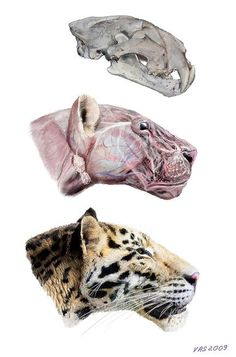 2.5 Million Year old skull found.  It is a new species but is most similar to modern tigers.  Meet Panthera zdanskyi.