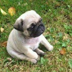 pinterest ˗ˏˋpeachiebaeˎˊ˗ #pug