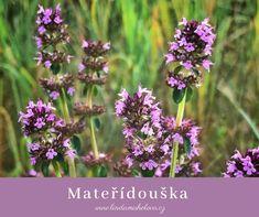 Mateřídouška úzkolistá Thymus Serpyllum, Herbalism, Herbs, Garden, Plants, Box, Herbal Medicine, Garten, Snare Drum