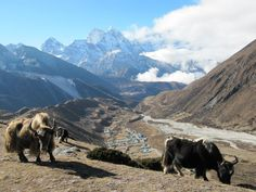 Imja Valley with Yaks.