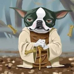 Wise little Frenchie he is! Yoda French Bulldog.