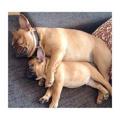 French Bulldogs Spooning