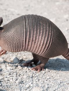 What You Should Know About Armadillos And Leprosy