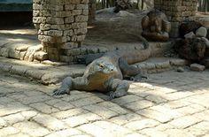 Pensate che i draghi siano solo figure leggendarie? E invece potete trovarli sulla splendida Isola di Komodo, in Indonesia. Il Drago di Komodo appartiene in realtà alla famiglia dei Varanidi ed è la più grossa specie di lucertola vivente  #komodo #indonesia #travel #dragon