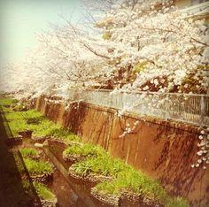 Sakura along Kandagawa River