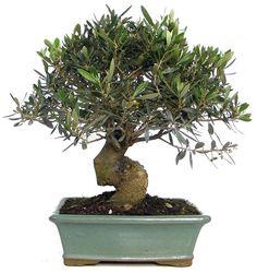 olive bonsai   K004-02_olive_bonsai.JPG