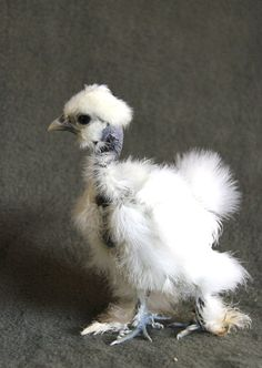 Showgirl Chick from A Chicken A Day