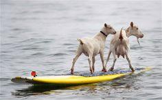 Surfing, surfing. Goat surfing ;-)