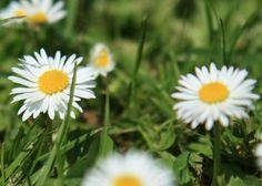 English daisies are a great way to fill out a garden with hundreds of petite flowers. Their hearty nature allows them to grow in any kind of soil. They are also simple and inexpensive to care for. English daisies are often used to cover the tougher growing areas of your landscape. They make excellent companion …
