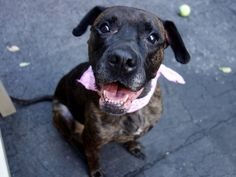 GONE 6-25-2015 --- Manhattan Center NIANA – A1037900  SPAYED FEMALE, BR BRINDLE / BLACK, PIT BULL MIX, 10 yrs OWNER SUR – ONHOLDHERE, HOLD FOR ID Reason PERS PROB Intake condition GERIATRIC Intake Date 05/29/2015