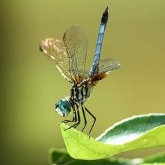 Dragonfly preparing for takeoff.  Photo by Chris Crowder.